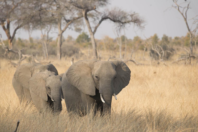 somalisa camp zimbabwe-lodges-zambia-in-style-safaris-wildlife-africa-hwange-national-park-elephants