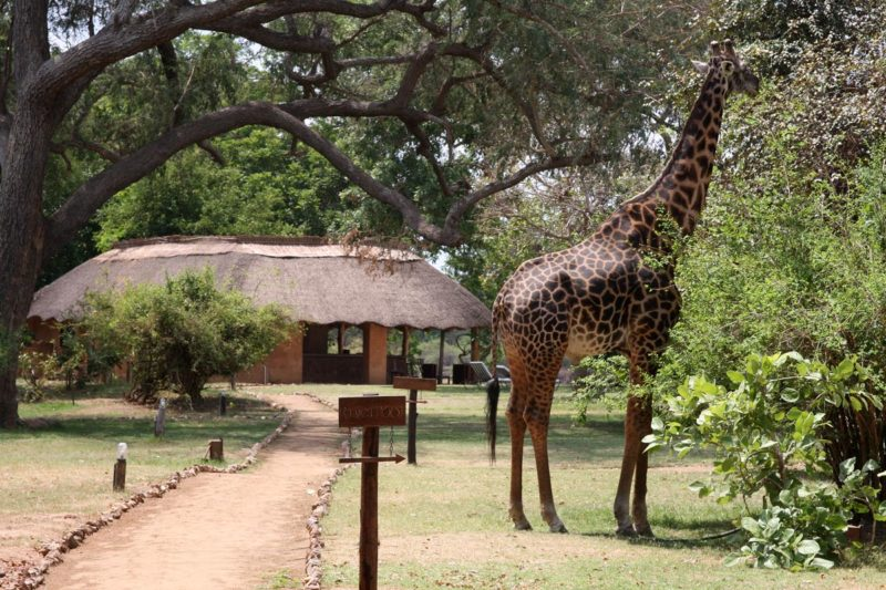 track and trail lodge-zambia-in-style-tours-safari-lodges-south-luangwa-mfuwe-game-viewing-giraffe