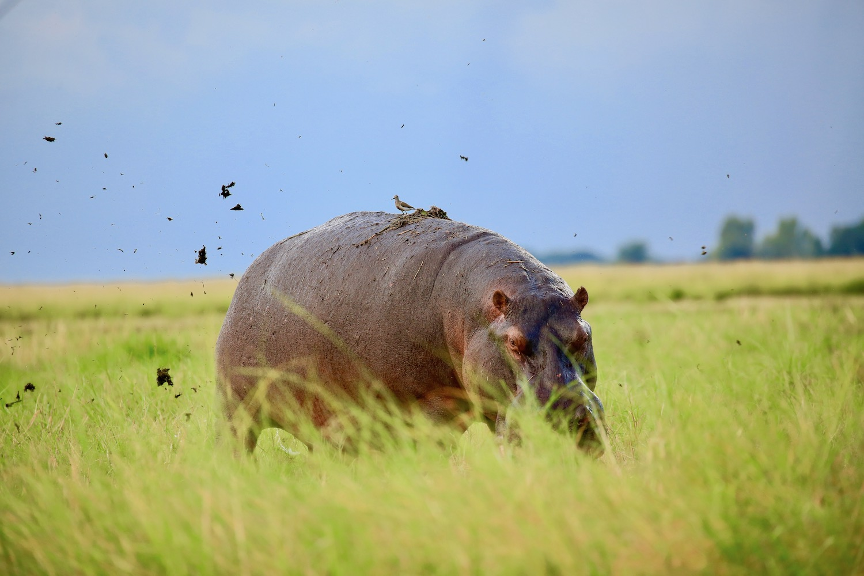 hippo in chobe