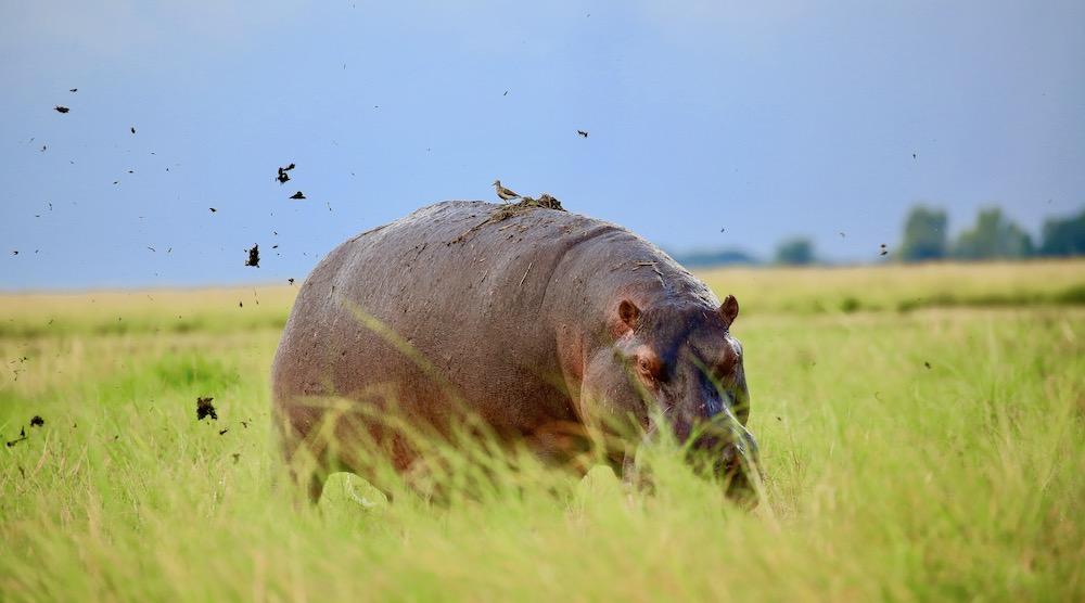 Hippo, Chobe