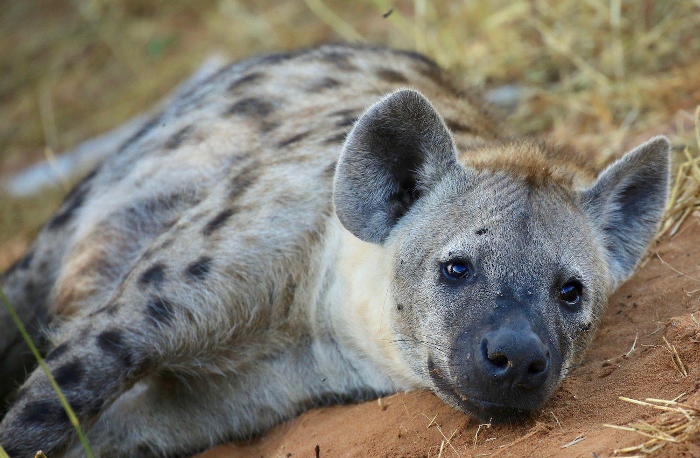 hyena, chobe