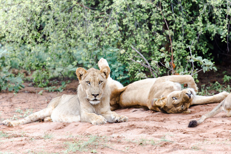 changa safari camp lake-kariba-zimbabwe-zambia-in-style-authentic-safari-experience-lions