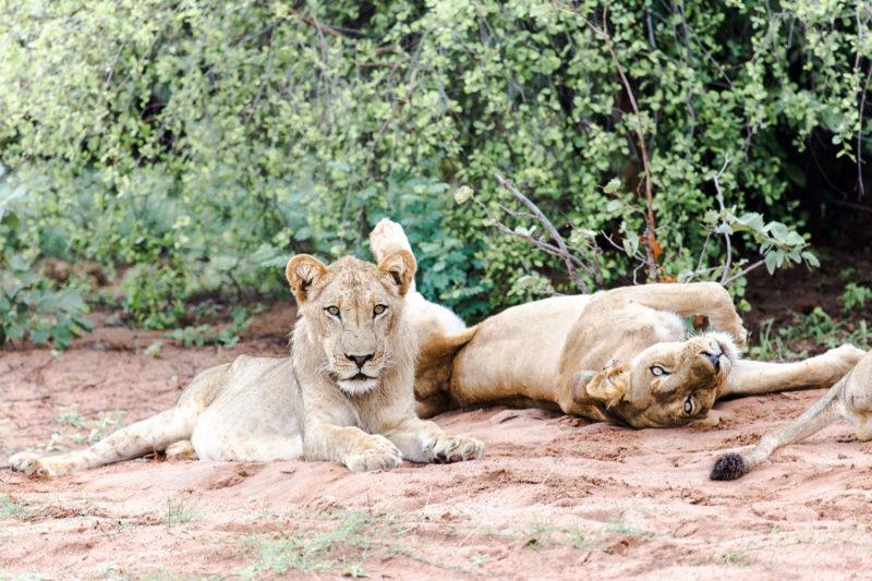 changa safari camp lake-kariba-zimbabwe-zambia-in-style-authentic-safari-experience-lions