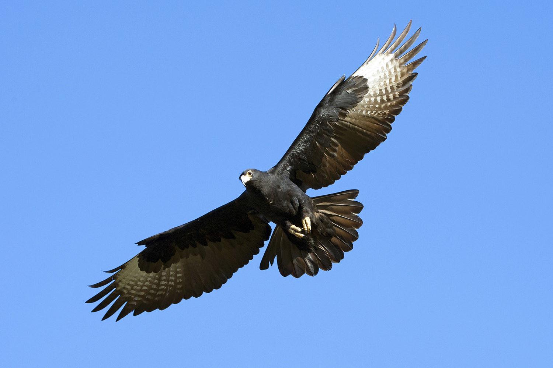 little gorges tented lodge imvelo-victoria-falls-zimbabwe-black-eagle-blue-sky