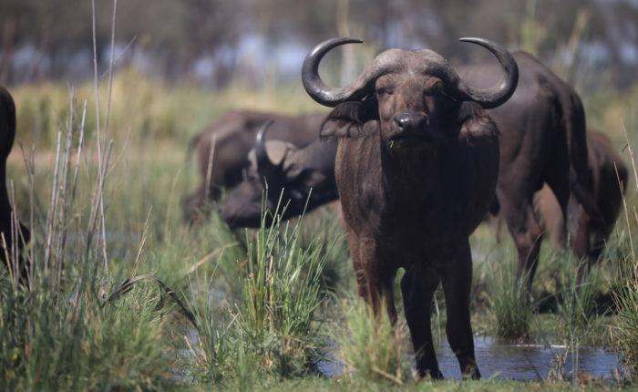 buffalo in rainy season zambia