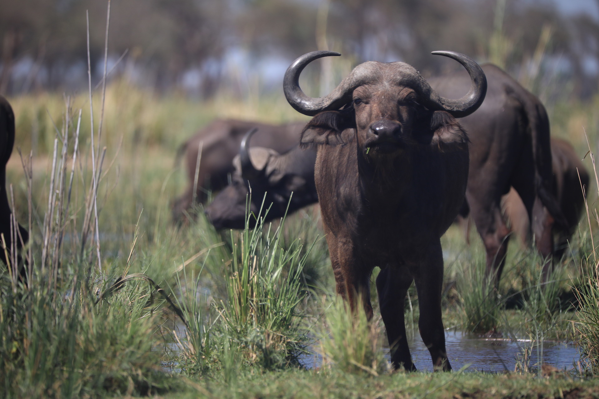 buffalo in rainy season zambia