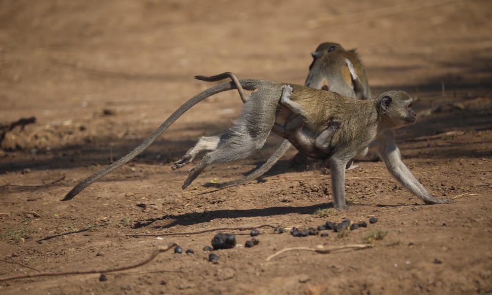 monkey with baby in zambia