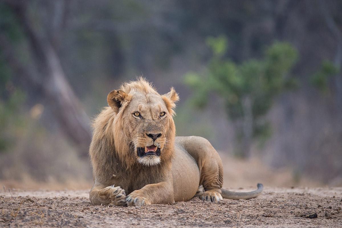 chikwenya camp zimbabwe-lodges-accommodation-zambia-in-style-mana-pools-zambezi-river-wilderness-wildlife-lion