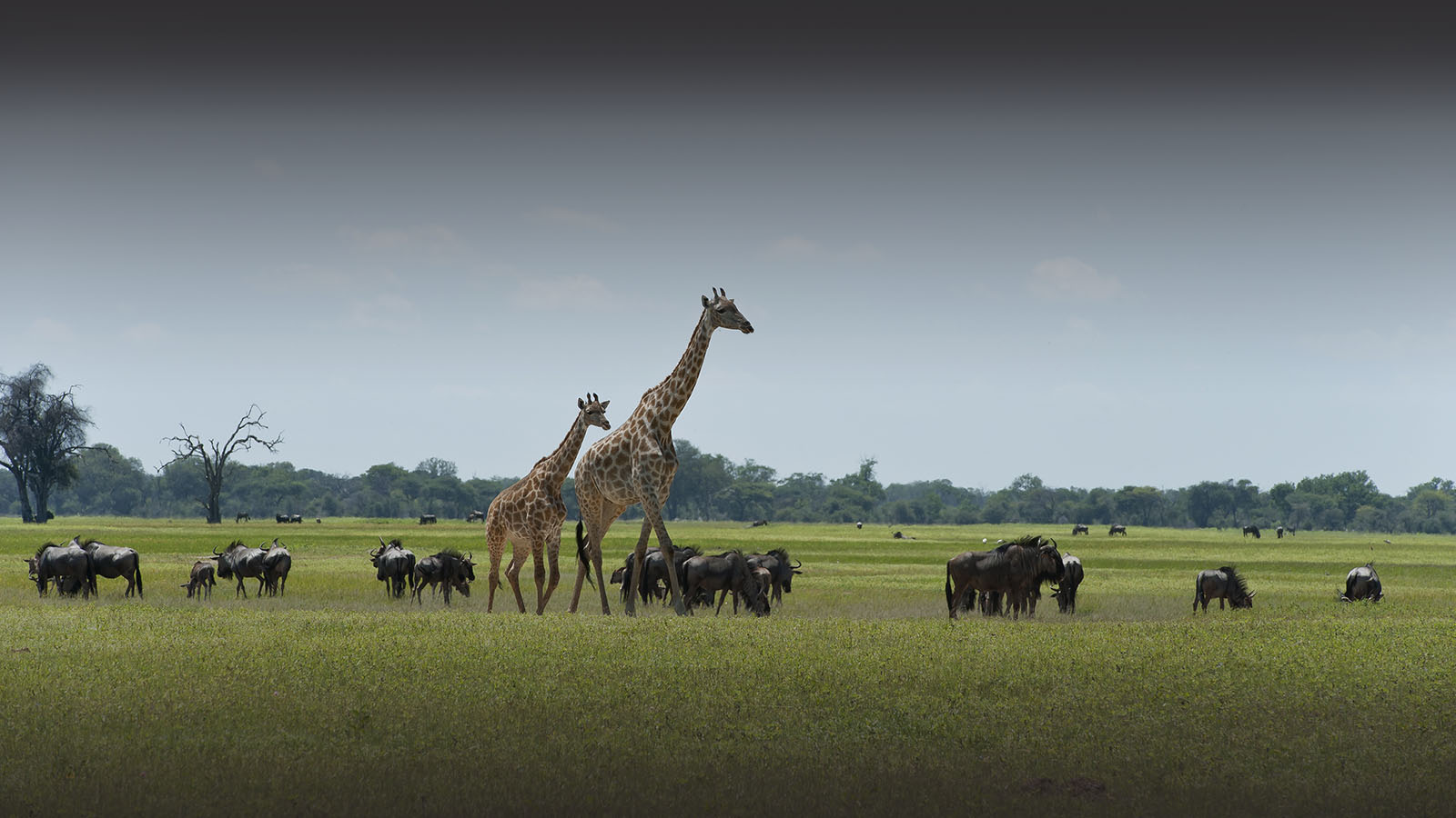 davisons camp hwange-national-park-zimbabwe-accommodation-lodges-wilderness-safaris-wildlife-giraffe