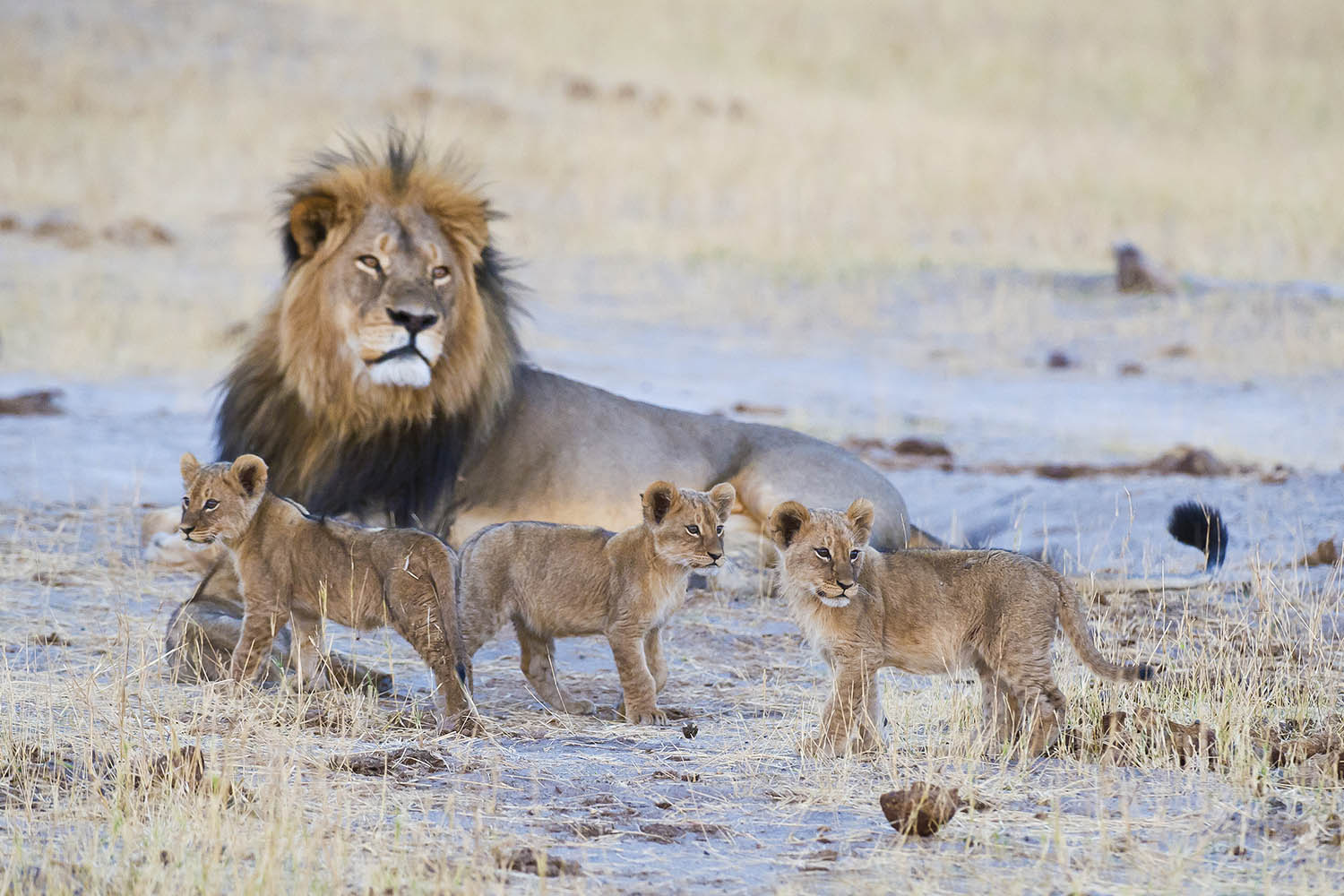 davisons camp hwange-national-park-zimbabwe-lodges-wilderness-safaris-lions-wildlife