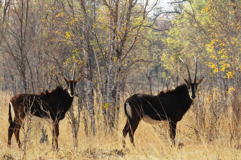 jozibanini camp hwange-national-park-zimbabwe-lodges-rustic-safari-sable-wildlife