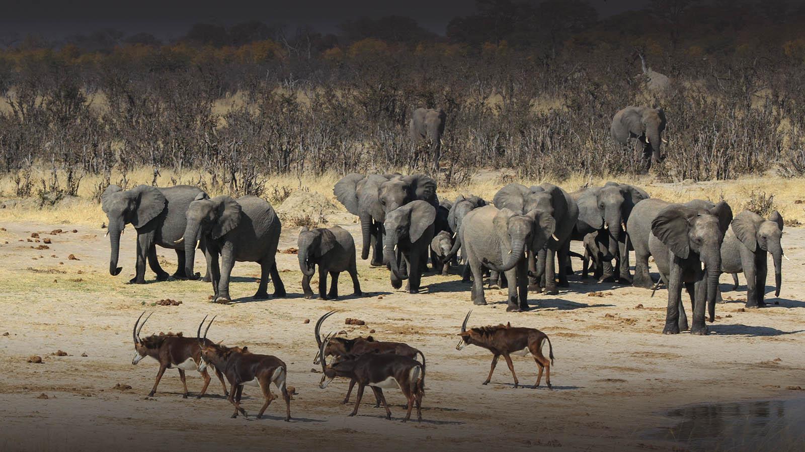 jozibanini camp hwange-national-park-zimbabwe-lodges-rustic-safaris-sable-elephant-herd