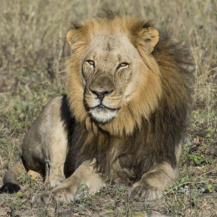 linkwasha camp hwange-national-park-zimbabwe-lodges-wildlife-lion