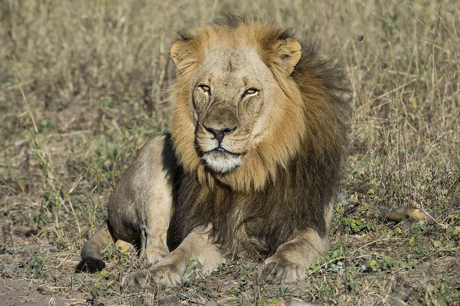linkwasha camp hwange-national-park-zimbabwe-lodges-wildlife-lion