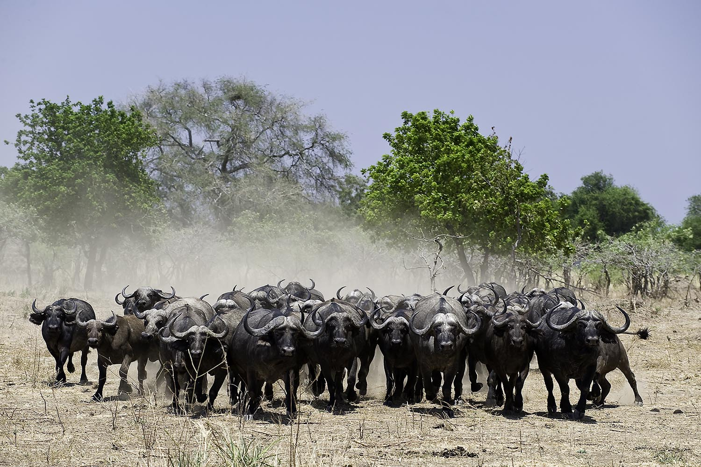 ruckomechi zimbabwe-lodges-mana-pools-zambezi-river-africa-wilderness-african-buffalo