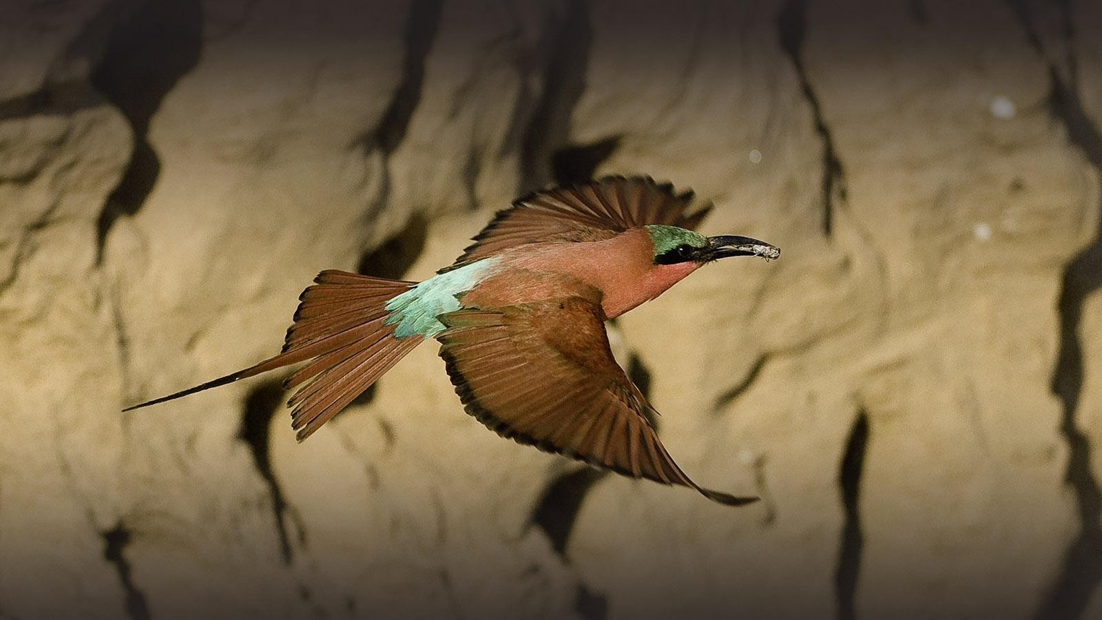 ruckomechi zimbabwe-lodges-mana-pools-zambezi-river-africa-wilderness-safaris-bird-flying