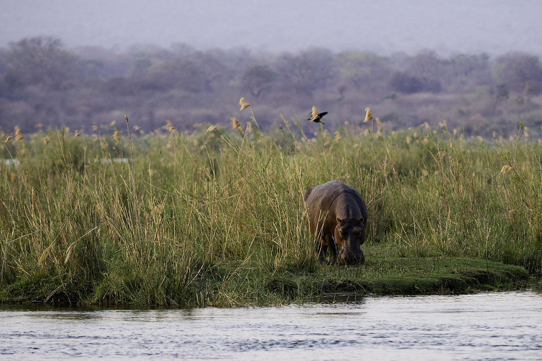 ruckomechi zimbabwe-lodges-mana-pools-zambezi-river-africa-wilderness-safaris-river-activities-hippo