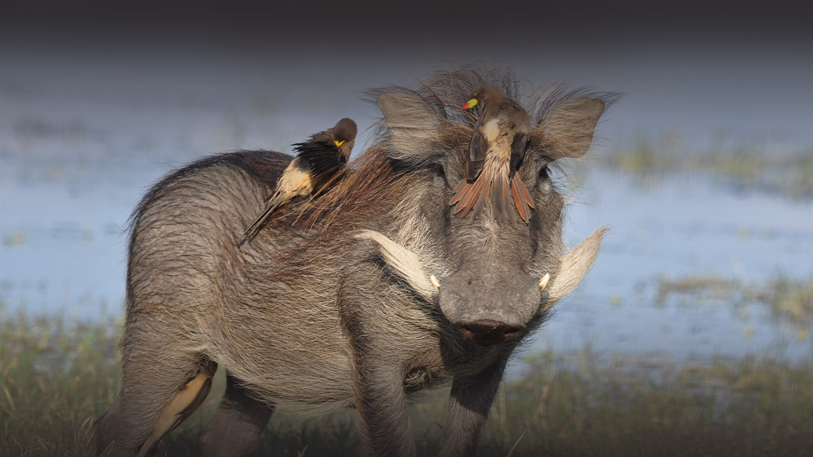 the hide hwange-national-park-lodges-zimbabwe-accommodation-warthog-birds