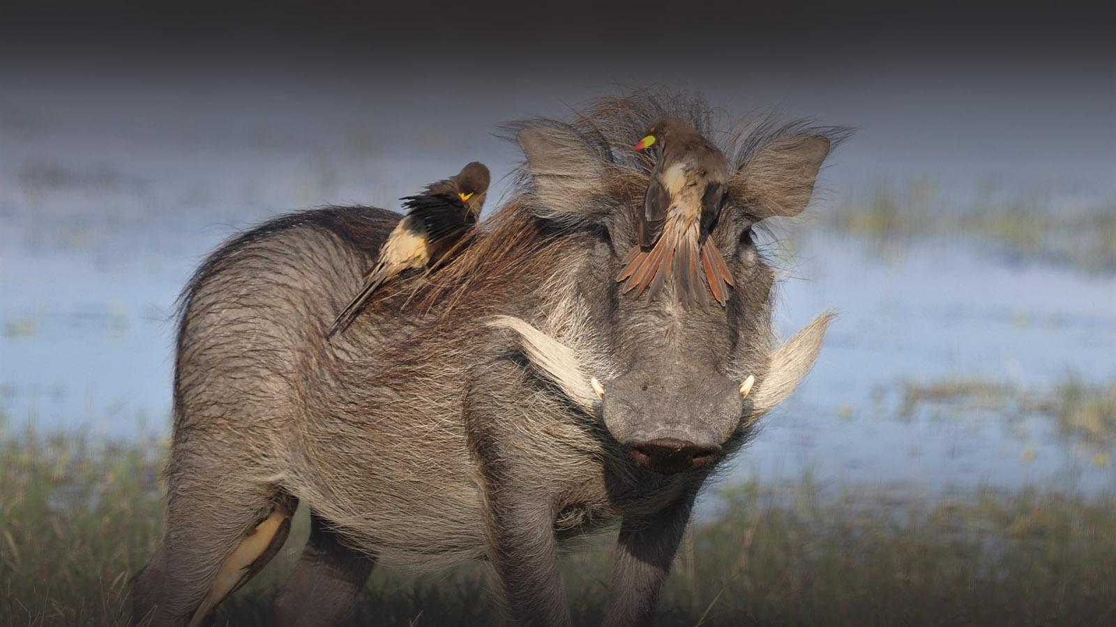 the hide hwange-national-park-lodges-zimbabwe-accommodation-warthog-birds