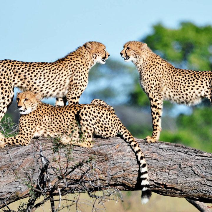 the hide hwange-national-park-lodges-zimbabwe-accommodation-wildlife-cheetah