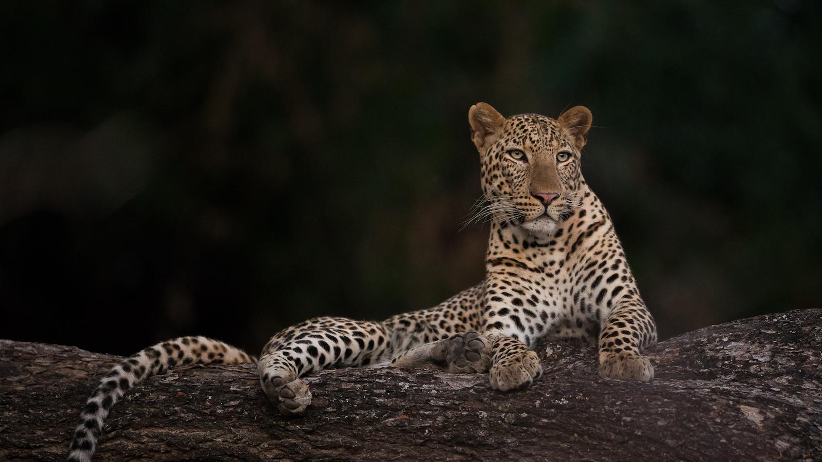 Gavin Opie Safaris Leopard Watching 8