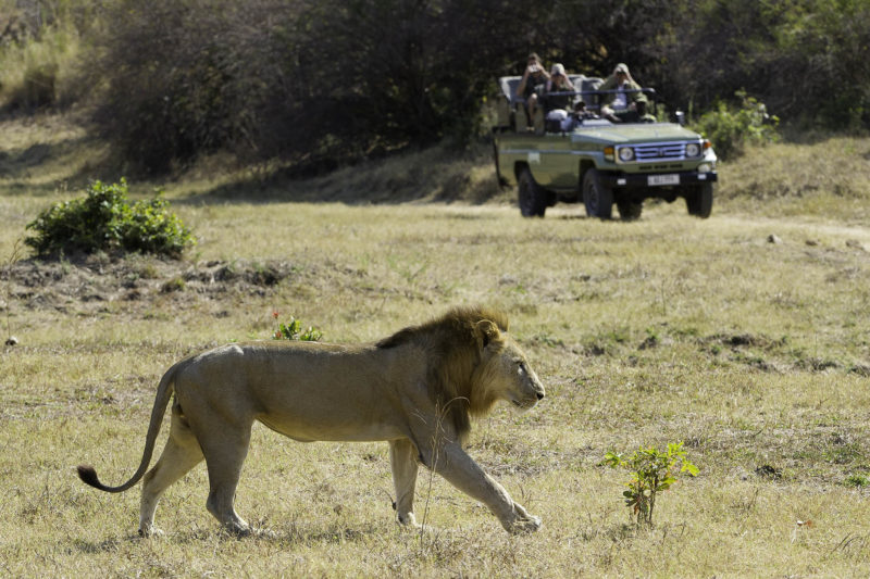 flatdogs-jackalberry-treehouse-zambia-in-style-south-luangwa-national-park-game-drive-with-lion