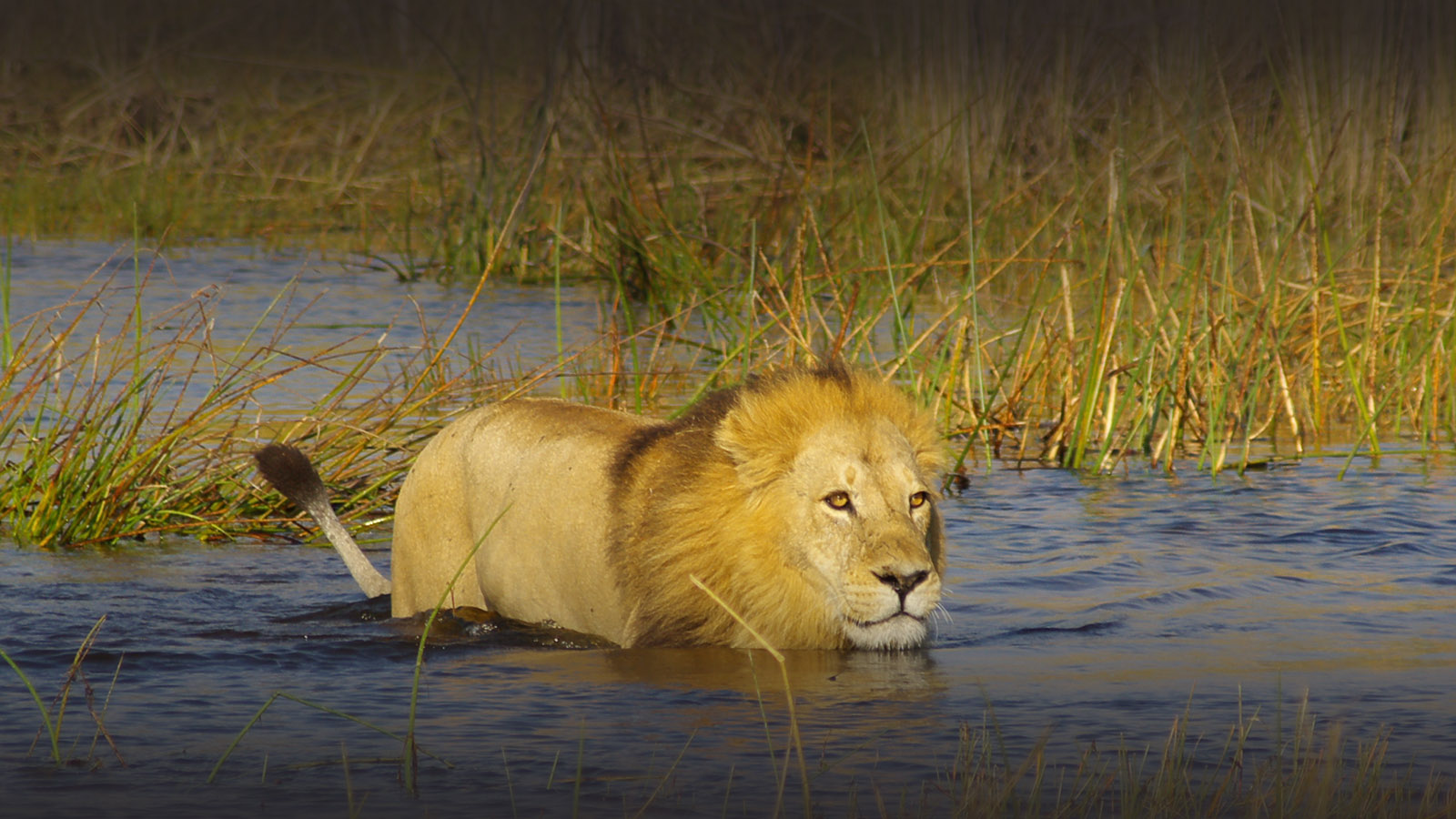 okuti camp moremi-game-reserve-botswana-lodges-zambia-in-style-safaris-lion
