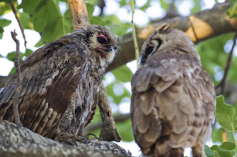 okuti camp moremi-game-reserve-botswana-lodges-zambia-in-style-wildlife-birding-owl-pair
