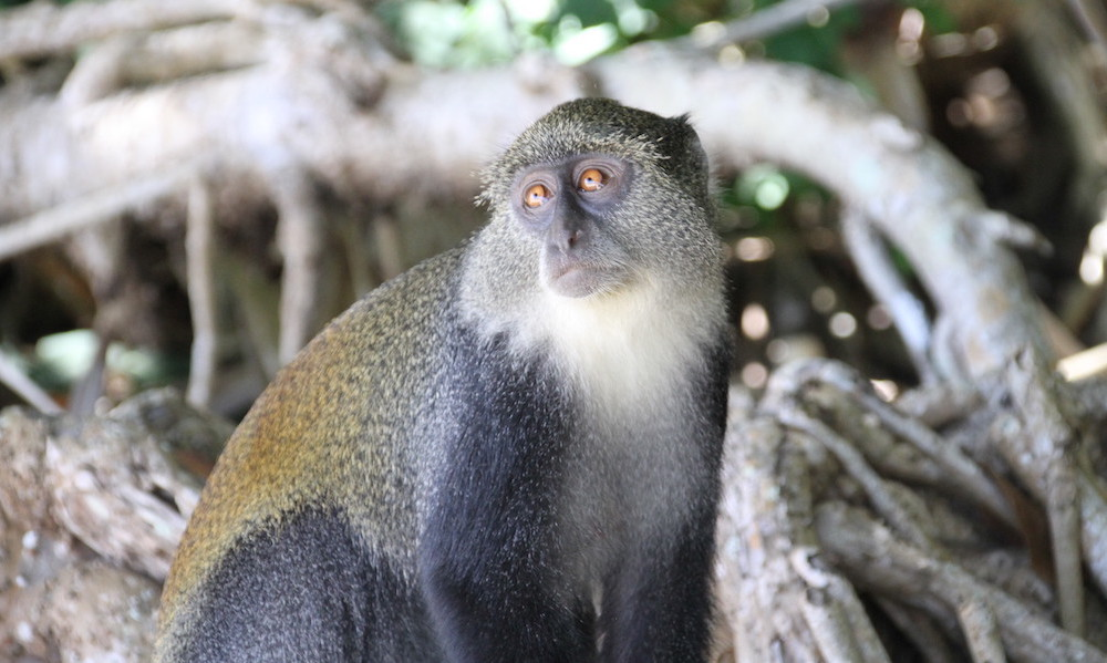 Blue Monkey, Zanzabr