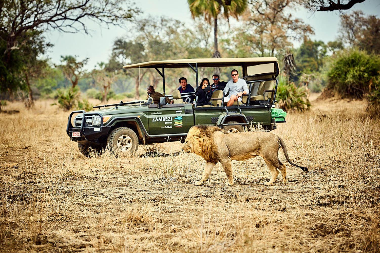 zambezi grande zambia-in-style-lower-zambezi-national-park-modern-lodge-activities-game-drive-lion