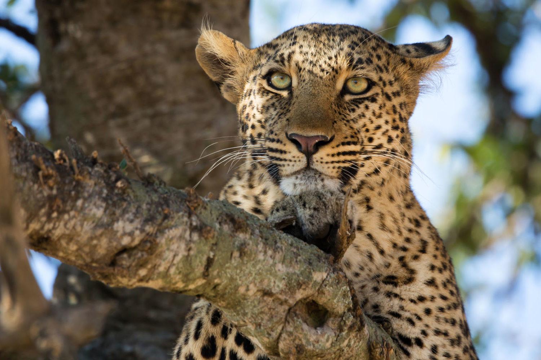 zambezi grande zambia-in-style-lower-zambezi-national-park-modern-lodge-lepoard