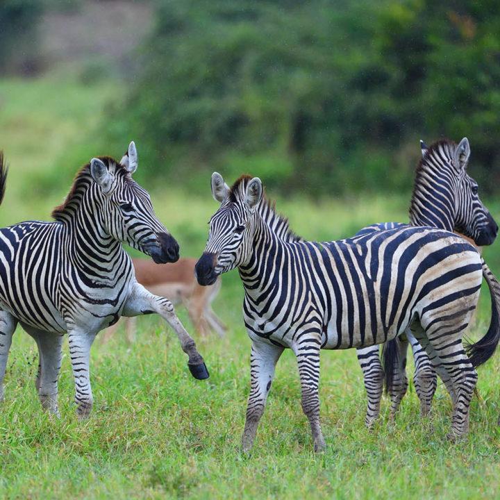 chilo gorge gonarezhou-national-park-zimbabwe-lodges-zambia-in-style-activities-zebra