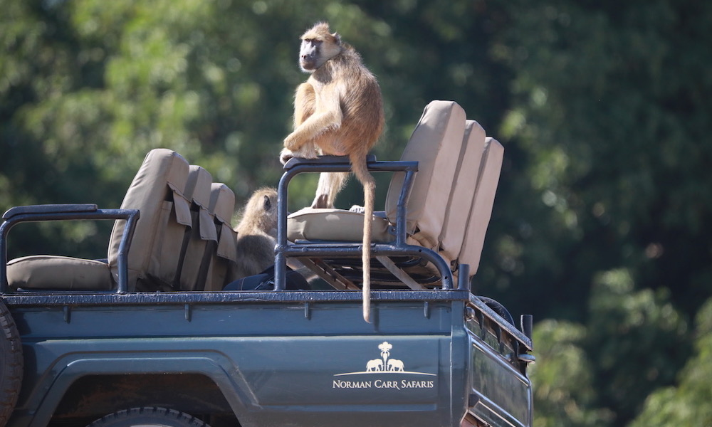 baboon on safari vehicle, chinzombo