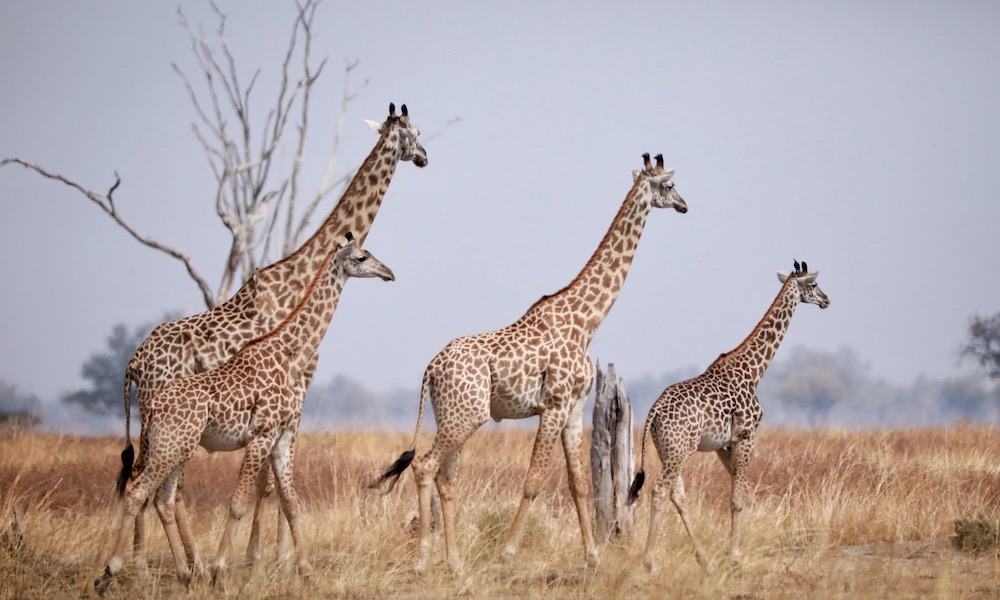 giraffe spotted on game drive