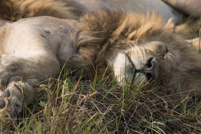 great plains duba explorers camp okavango-delta-botswana-lodges-zambia-in-style-stunning-safari-tents-wildlife-young-lion