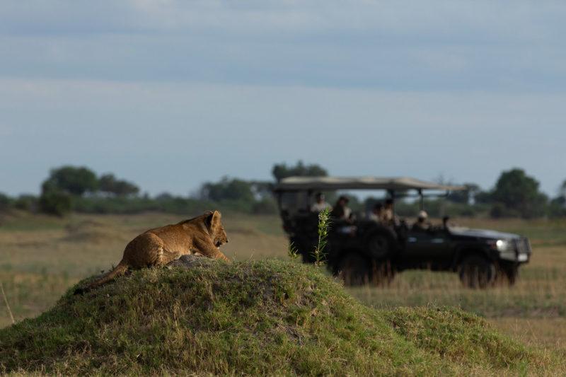 great plains duba plains camp duba-plains-suite-okavango-delta-botswana-lodges-zambia-in-style-private-luxury-lion-cub-game-drive