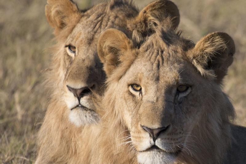 great plains duba plains camp duba-plains-suite-okavango-delta-botswana-lodges-zambia-in-style-private-luxury-lions