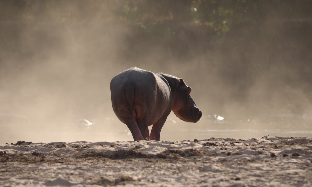 hippo at Takwela