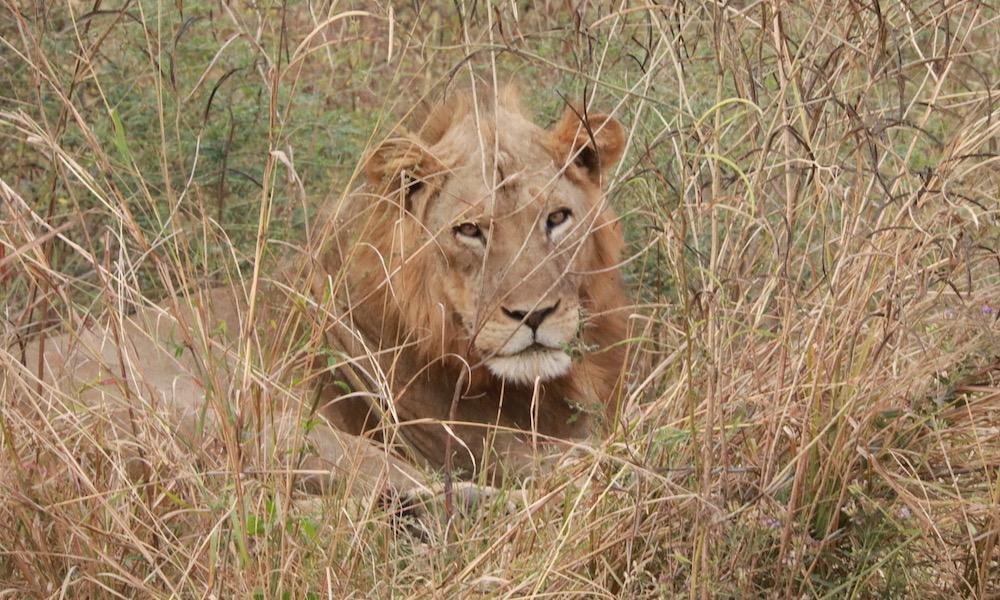lion luambe