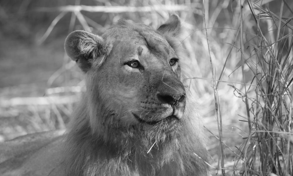 lion luwi