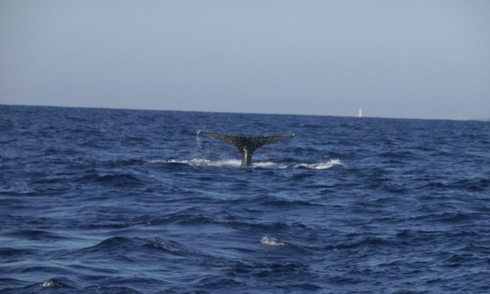 whale, mozambique