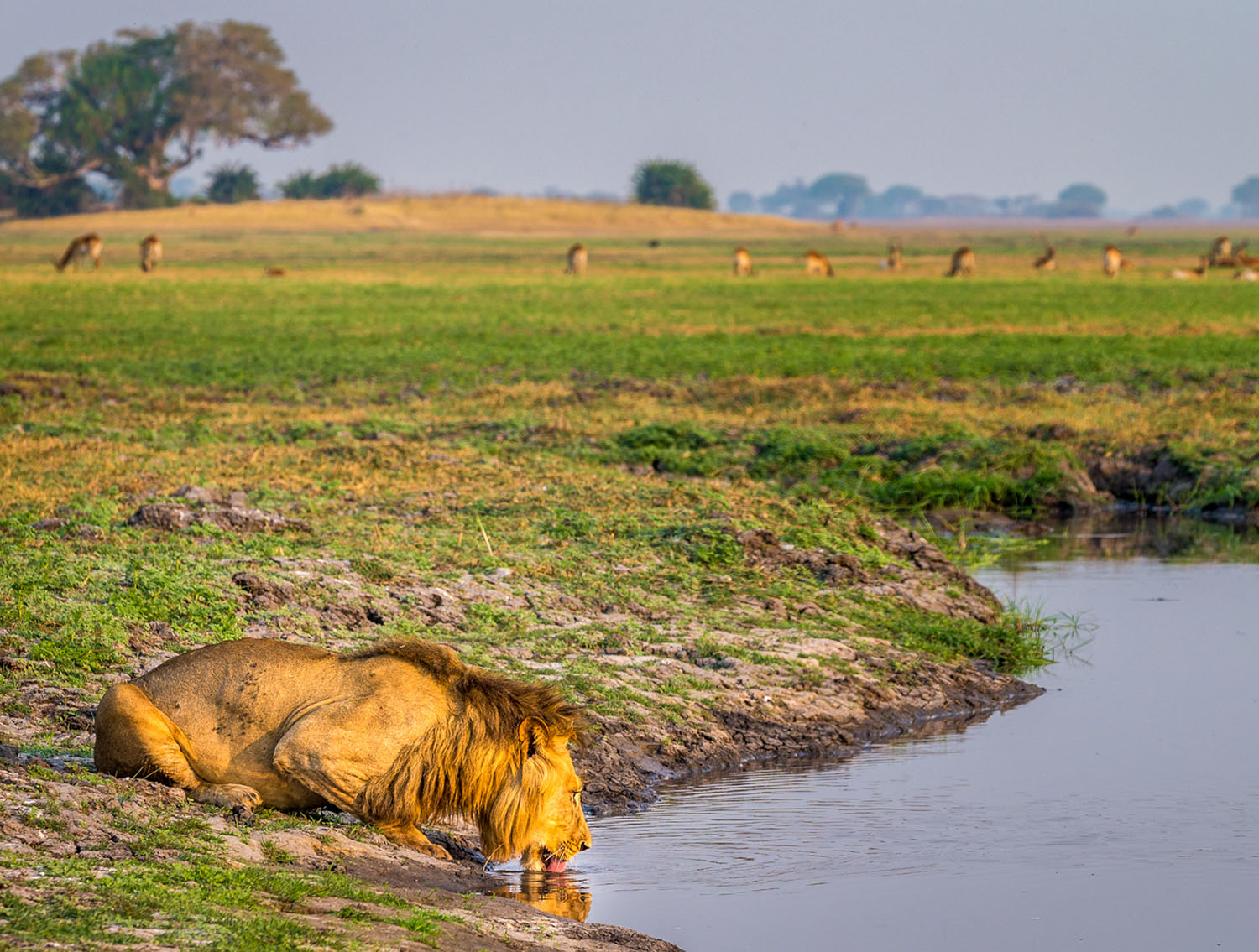 kasonso busanga camp kafue-lodges-zambia-in-style-busanga-plain-kafue-national-park-unique-location-lion-drinking