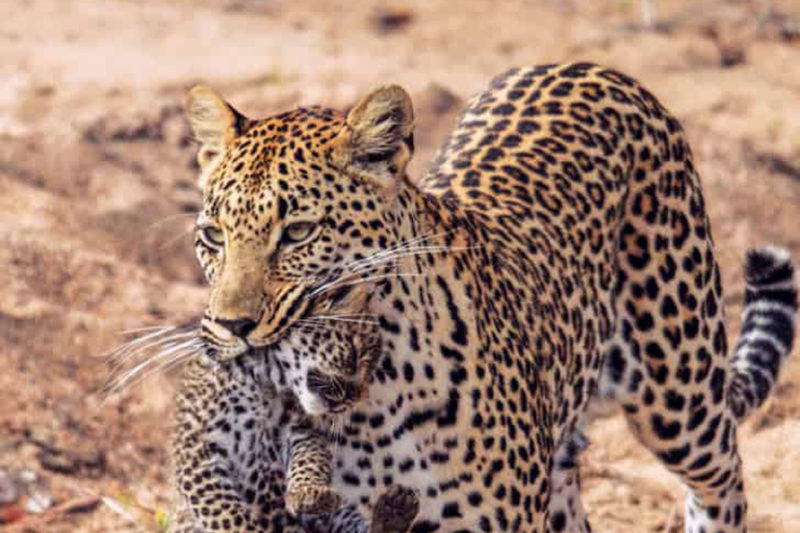 leopard hills sabi-sands-lodges-greater-kruger-zambia-in-style-south-africa-game-experiences-wild-leopard