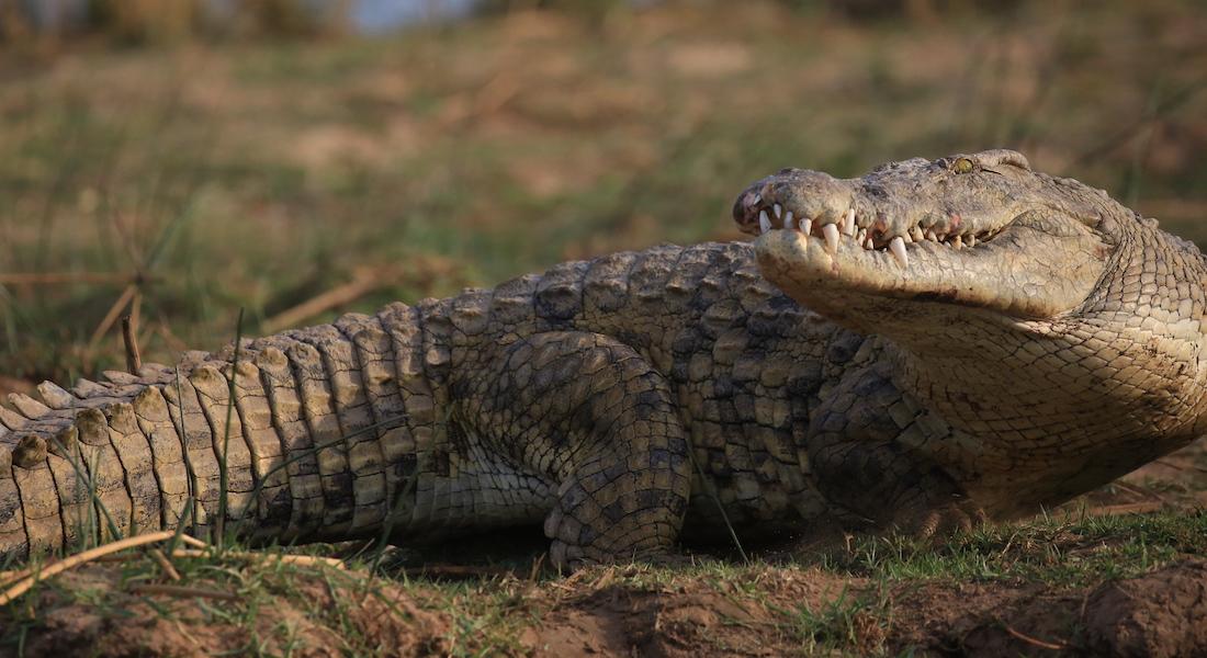crocodile, the lower zambezi