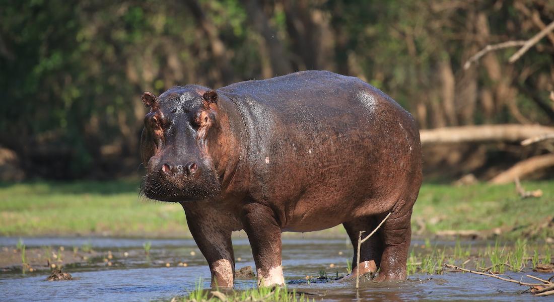hippo lower zambezi