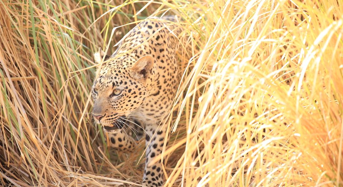 leopard, lower zambezi