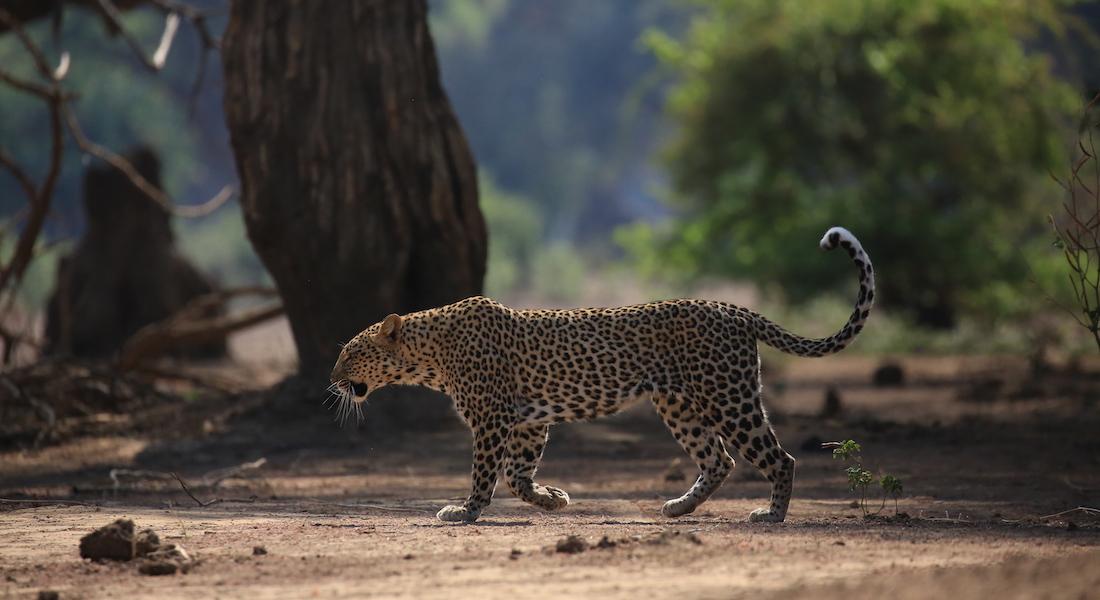 leopard the lower zambezi