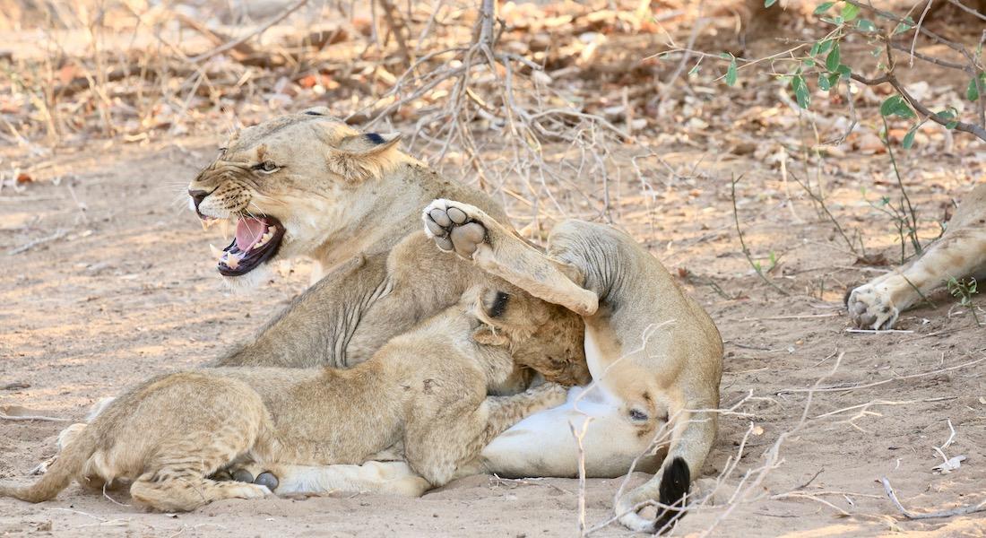 lion and cub, the lower zambezi