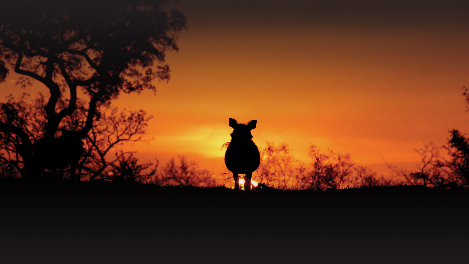 londolozi-greater-kruger-lodges-zambia-in-style-south-africa-londolozi-reserve-luxurious-wildlife-haven-sunset-warthog