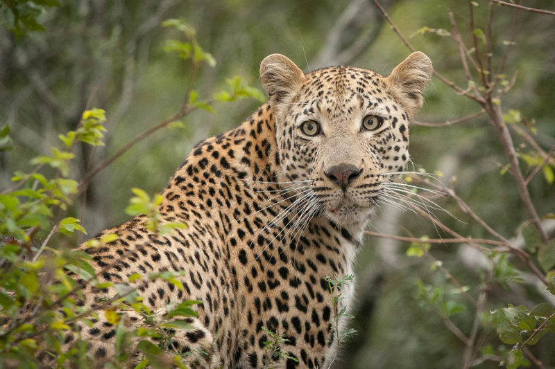 londolozi-greater-kruger-lodges-zambia-in-style-south-africa-londolozi-reserve-photography-leopard